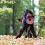 Labradoodle mit Frisbee