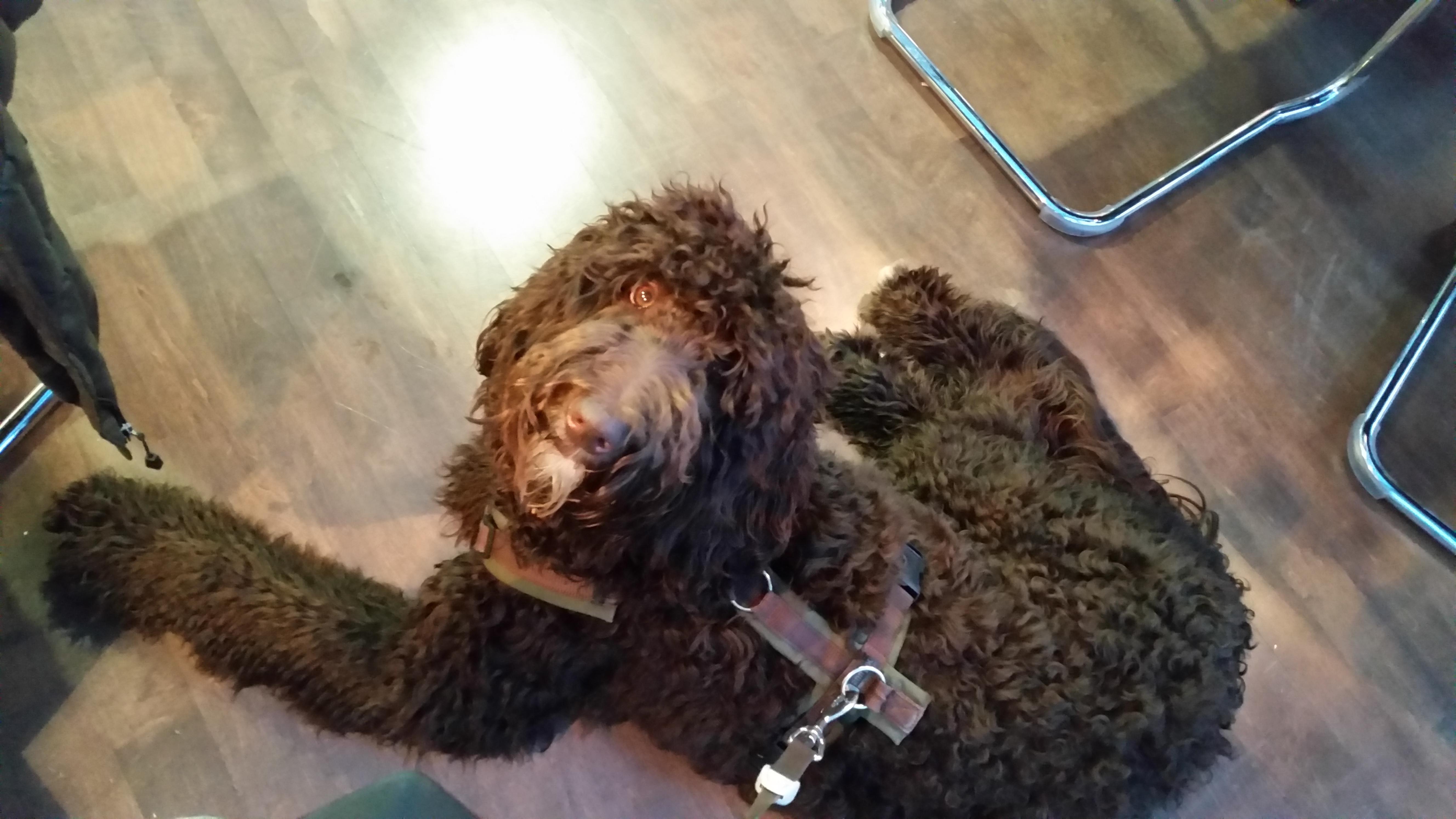 Labradoodle mit Hundegeschirr